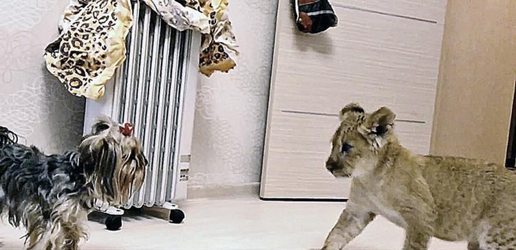 Йорк воспринял нового друга не как царя зверей, а как обыкновенного котенка. Фото: youtube.ru