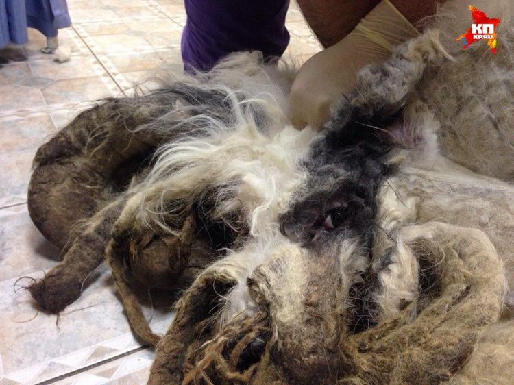 Пес не мог нормально дышать из-за свалявшейся шерсти. Фото: https://vk.com/staffbullhelp