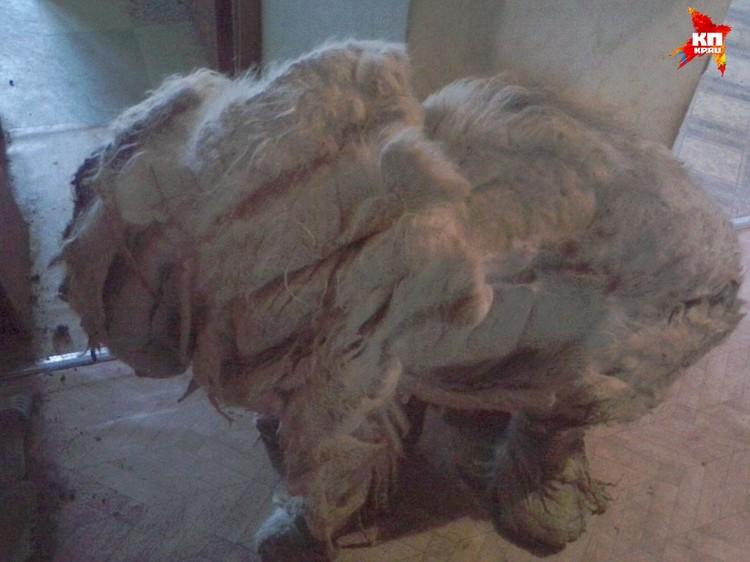 Собака за год аскетичной жизни разучилась даже ходить, к тому же калтуны сковывали псу лапы. Фото: https://vk.com/staffbullhelp