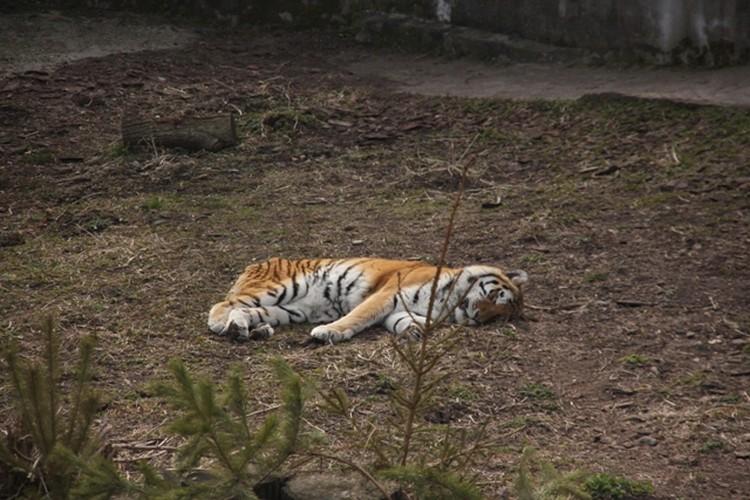 Тигрица Таня только в пик затмения спряталась под навес, остальное время она продрыхла, как и основная масса питомцев.
