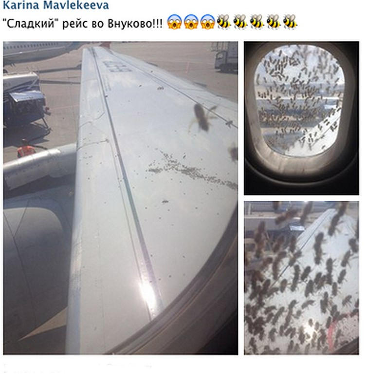 Несколько тысяч пчел напали на «Аэробус» во Внуково. Фото: Karina Mavlekeeva VKONTAKTE