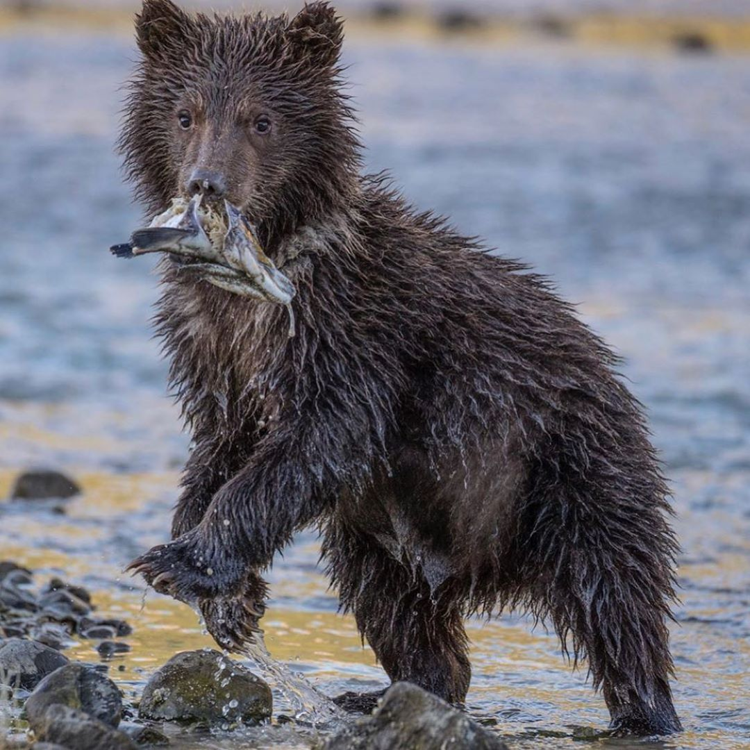 All that a grizzly bear from Alaska should worry about is its next meal, saving energy, the whereabouts of other bears, and gaining weight for the long winter hibernation ahead...
